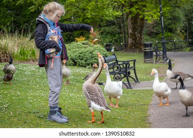 06/05/2019 Caerphilly , Wales. Girl feeding the ducks, Canadian goose domestic goose with British bread.