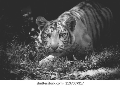 07/14/2018-france, amneville: tiger baby alone in black and white face in close up,