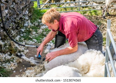 08/09/2019 Stainforth, North Yorkshire, UK, Sheep shearing is the process by which the woollen fleece of a sheep is cut off. The person who removes the sheep's wool is called a shearer.