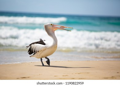 1 of 4 Australian pelican (Pelecanus conspicillatus) was waiting near a fisherman and succeeded in getting a reward of a fish... although it took some effort to swallow :-) Gold Coast, Australia