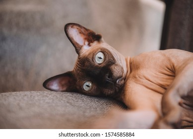 1 bald cat lying on a gray background, canadian Sphynx, pet