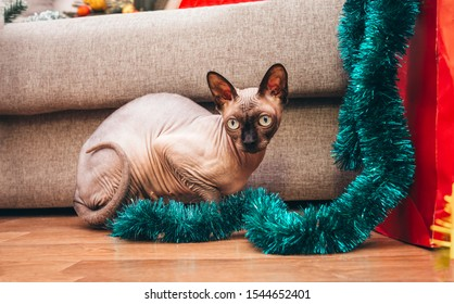 1 cat breed canadian sphynx sitting on the floor near the sofa with blue Christmas tinsel, bald cat