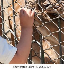 1 June 2019 Karaganda Zoo city of Karaganda Kazakhstan. A child feeds a wild animal through a fence