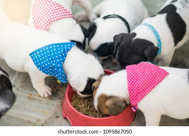 1 months old 4 new born puppies with blue and pink collar costume eating dog food for the first time