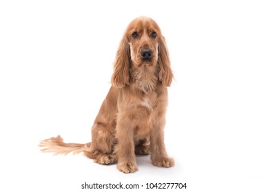 1 year old golden Cocker Spaniel dog sitting isolated against a white background