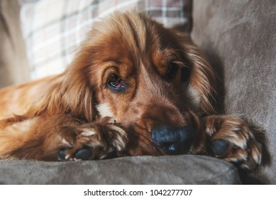1 year old golden Cocker Spaniel dog laying down on a sofa