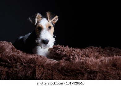 1 year old wire fox terrier in the studio against a black background