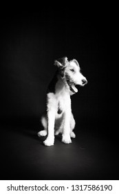 1 year old wire fox terrier in the studio against a black background in monochrome
