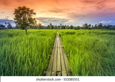 100 year-old wooden bridge between rice field with sunlight at Khonburi, Nakhon Ratchasima, Thailand