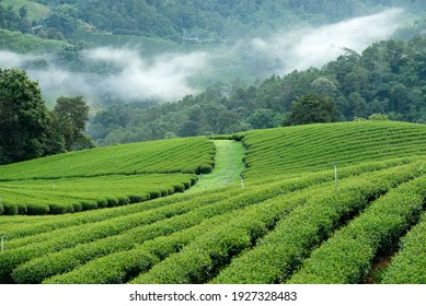 101 Tea Plantation, Chiangrai Province, Thailand, 13 December 2020 : The tea plantation in the north of Thailand with an early morning mist. This place is famous for green tea and eco tourism site.