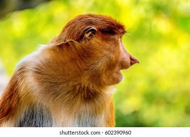 11 Mac 2017, Sandakan Sabah, Malaysia : A highly Endangered Proboscis Monkey (Nasalis larvatus) male with a huge nose & comical expression in Labuk bay Santuary, Sandakan Sabah.