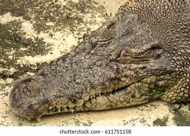 11 Mac 2017, Sandakan Sabah, Malaysia :  Close up picture of crocodile head in the water in Sandakan Crocodile farm, the biggest crocodile farm in Malaysia