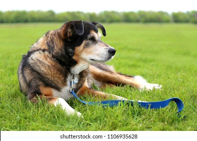 An 11 year old senior aged German Shepherd Border Collie Mix Breed dog is laying outside in the grass on a leash.