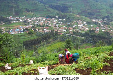 12 July 2019 - Ruhengeri, Rwanda: Subsistence farmers in central Africa, Rwanda, harvesting potatoes