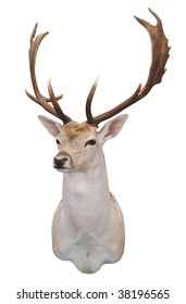 12 Point Fallow Stag's Head isolated with clipping path
