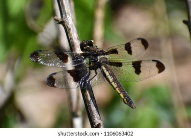 12 spotted dragonfly (Libellula pulchella)
