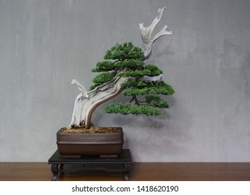 120 years old of Japanese bonsai