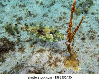 1.25 meter scrawled filefish while snorkeling at Eden's Rock in Grand Cayman Islands