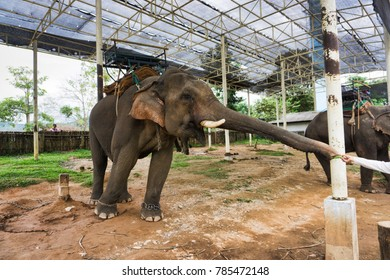 1/2th/2018 Chiang Rai, Thailand, Elephant try to grabbed the food from tourism.