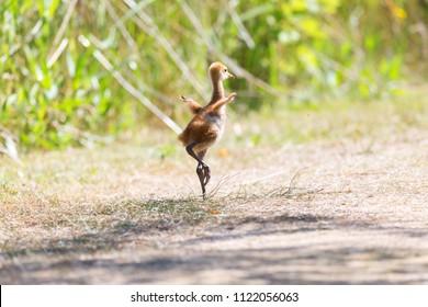 13 days sandhill crane baby at Reifel Bird Sanctuary, Vancouver BC Canada