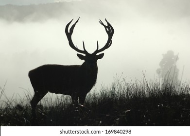 13 point red deer stag in morning fog, West Coast, South Island, New Zealand