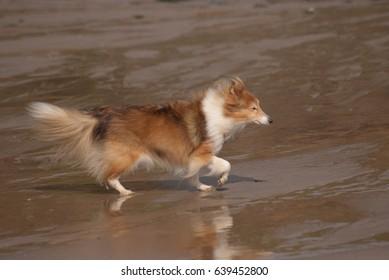A 14 year old Shetland Sheepdog running on a sandy beach.