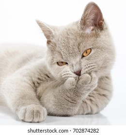 14-week old British Lilac Shorthair kitten cleaning itself on white background.