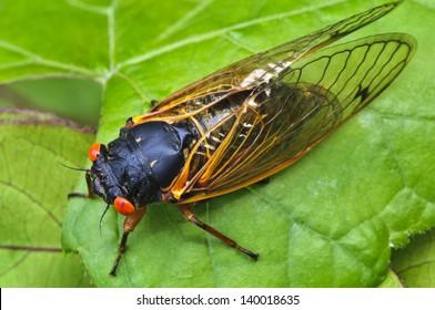 17 Year Periodical Cicadas Macro Horizontal