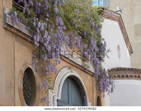 19 april 2018, Rome, wisteria blooming on a church in Rome near st. Peters vatican, italy, springime