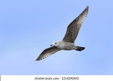 1st winter American Herring Gull (Larus smithsonianus) in flight. Monmouth Co., N.J.