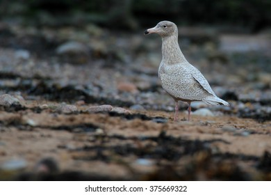 1st Winter Glaucous Gull (Larus hyperboreus)on pebble beach. Scarce visitor to Westhaven, the Angus Coast, Scotland.