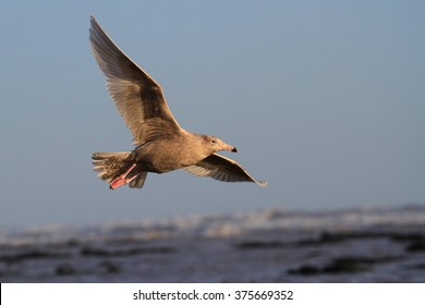 1st Winter Glaucous Gull (Larus hyperboreus) in flight. Scarce visitor to Westhaven, the Angus Coast, Scotland.