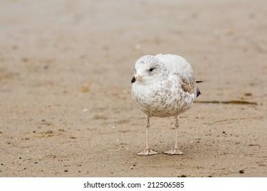 1st Winter Ring-billed Gull on Beach