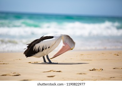 2 of 4 Australian pelican (Pelecanus conspicillatus) was waiting near a fisherman and succeeded in getting a reward of a fish... although it took some effort to swallow :-) Gold Coast, Australia