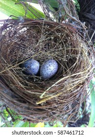 2 bird eggs in the beautiful nest. The nest is hang un the tree at the backyard. They are taken care by bird's mom. The two eggshells are light purple with brown pattern around their eggs.