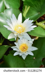 2 blooming lotus flowers with lotus leave in  background