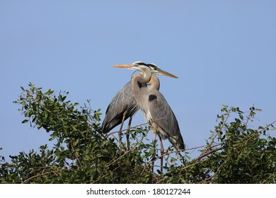 2 blue herons courting in tree