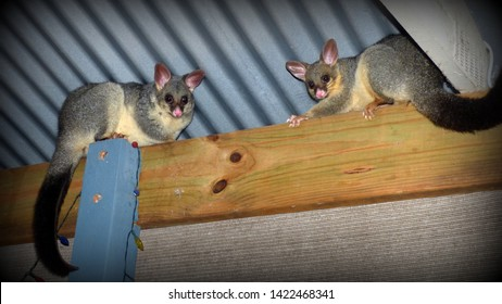 2 Brushtail possums looking down from the roof