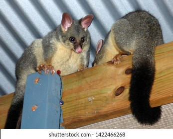2 Brushtail possums on the roof