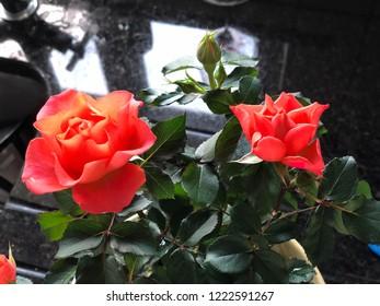2 Coral Minature Rose Blossoms