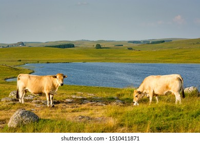 2 Cows in front of a landscape of the Aubrac plateau in the evening light