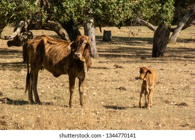 2 cows, a mother and her calf, both undernourished in drought conditions