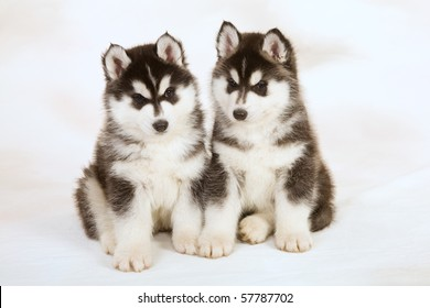 2 Cute Husky puppy on mottled background fabric