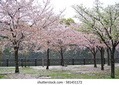 2 Different Sakura color in Japan