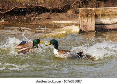2 ducks in a dramatic fight