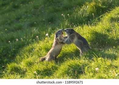 2 funny marmots, figting marmots in green grass
