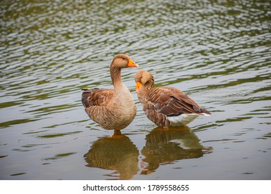 2 Greylag Geese in water
