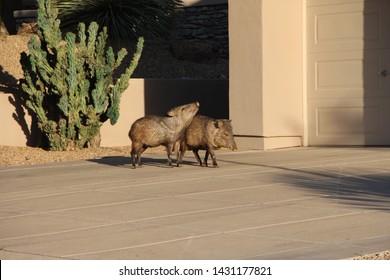 2 Hugging Javelina in Scottsdale Arizona