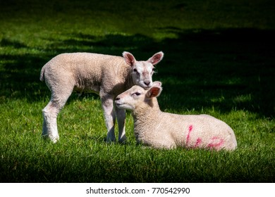 2 lambs loving each other