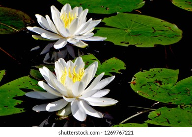 2 Lily Blossoms with Lily Pads